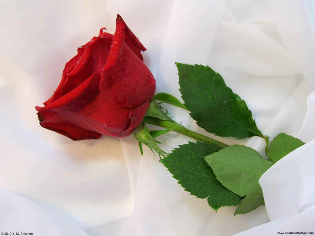 14684 red rose 1024x768.jpg (79991 bytes)