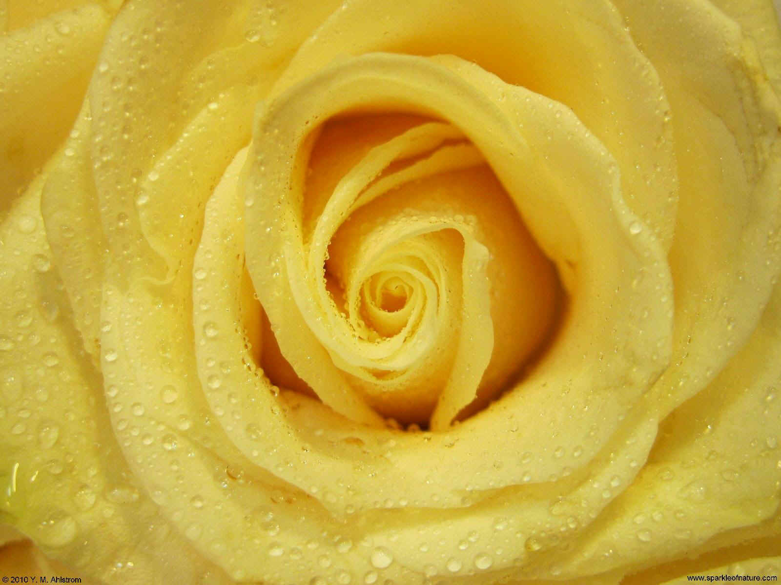 20511 buttercream yellow rose 1600x1200.jpg (184283 bytes)