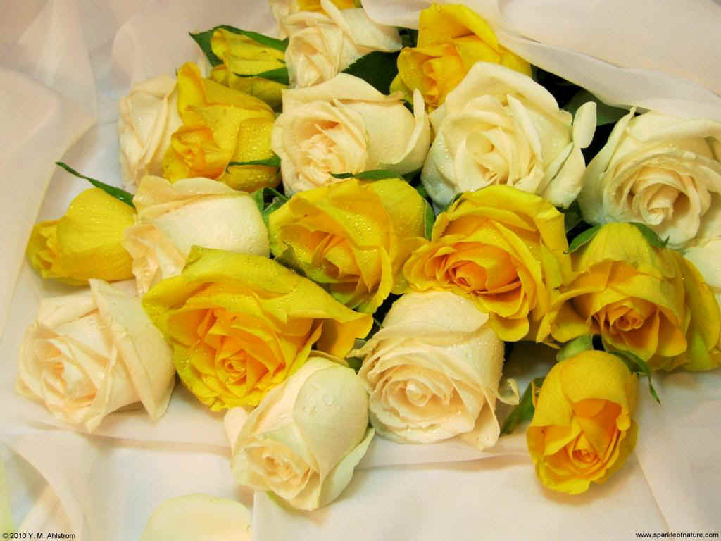 21345 yellow and cream roses 1 1024x768.jpg (108185 bytes)