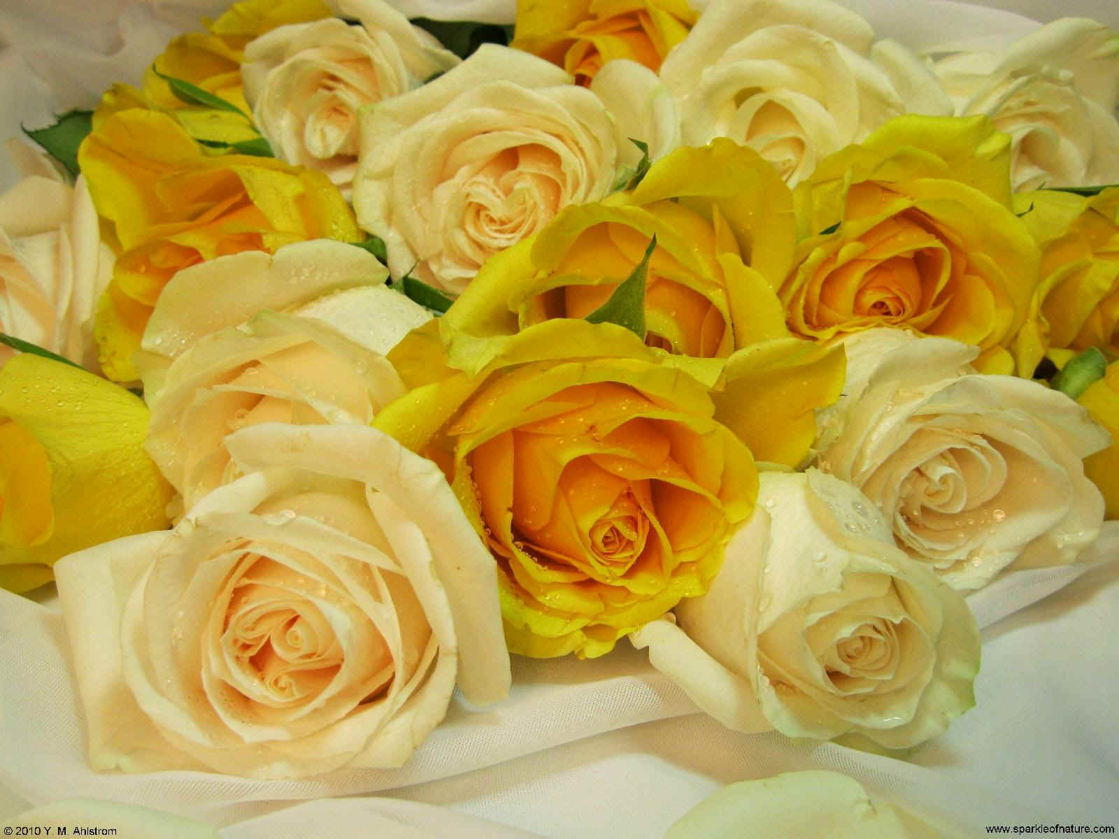 21368 yellow and cream roses 2 1600x1200.jpg (214550 bytes)