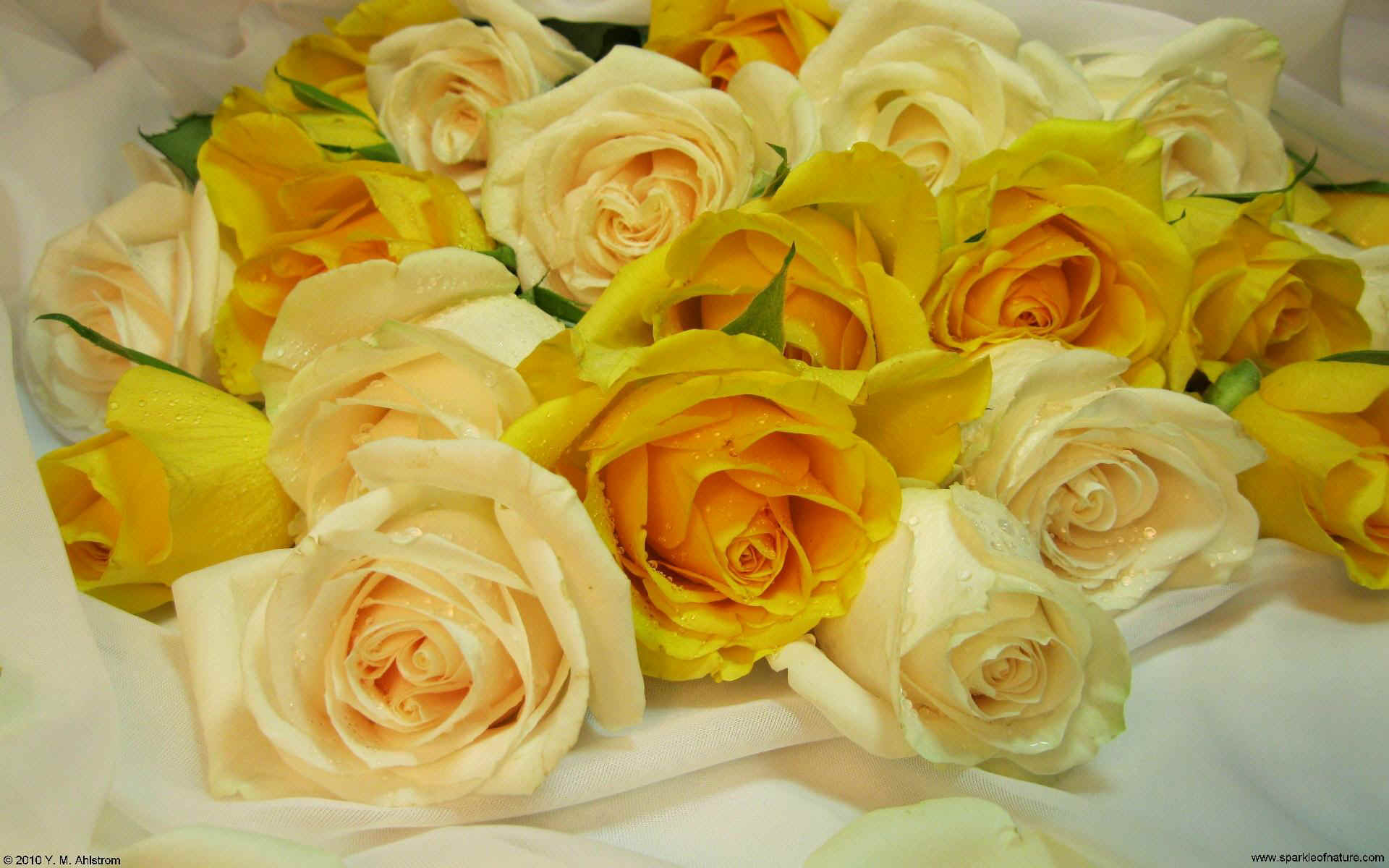 21368 yellow and cream roses 2 w 1920x1200.jpg (244012 bytes)
