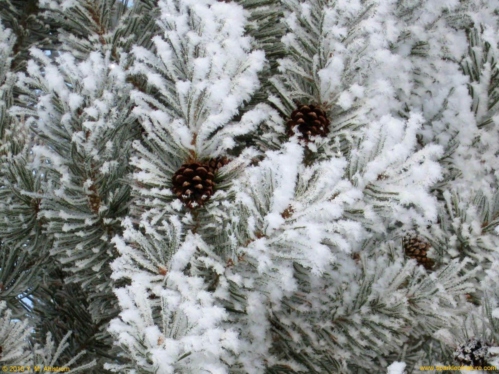 22090 winter pine 1600x1200.jpg (364503 bytes)