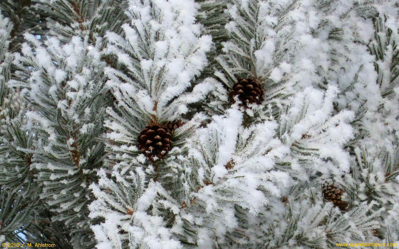 22090 winter pine w 1280x800.jpg (237933 bytes)