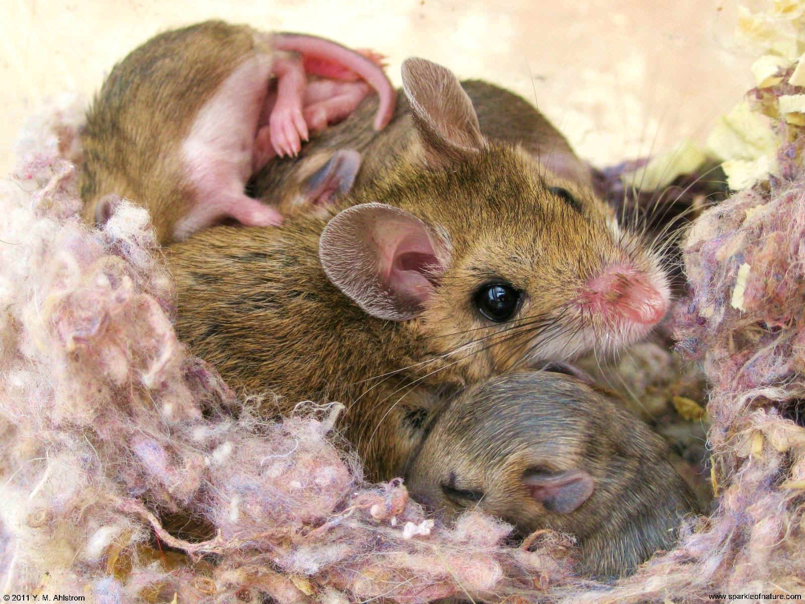 23459 mother mouse 1600x1200.jpg (371308 bytes)
