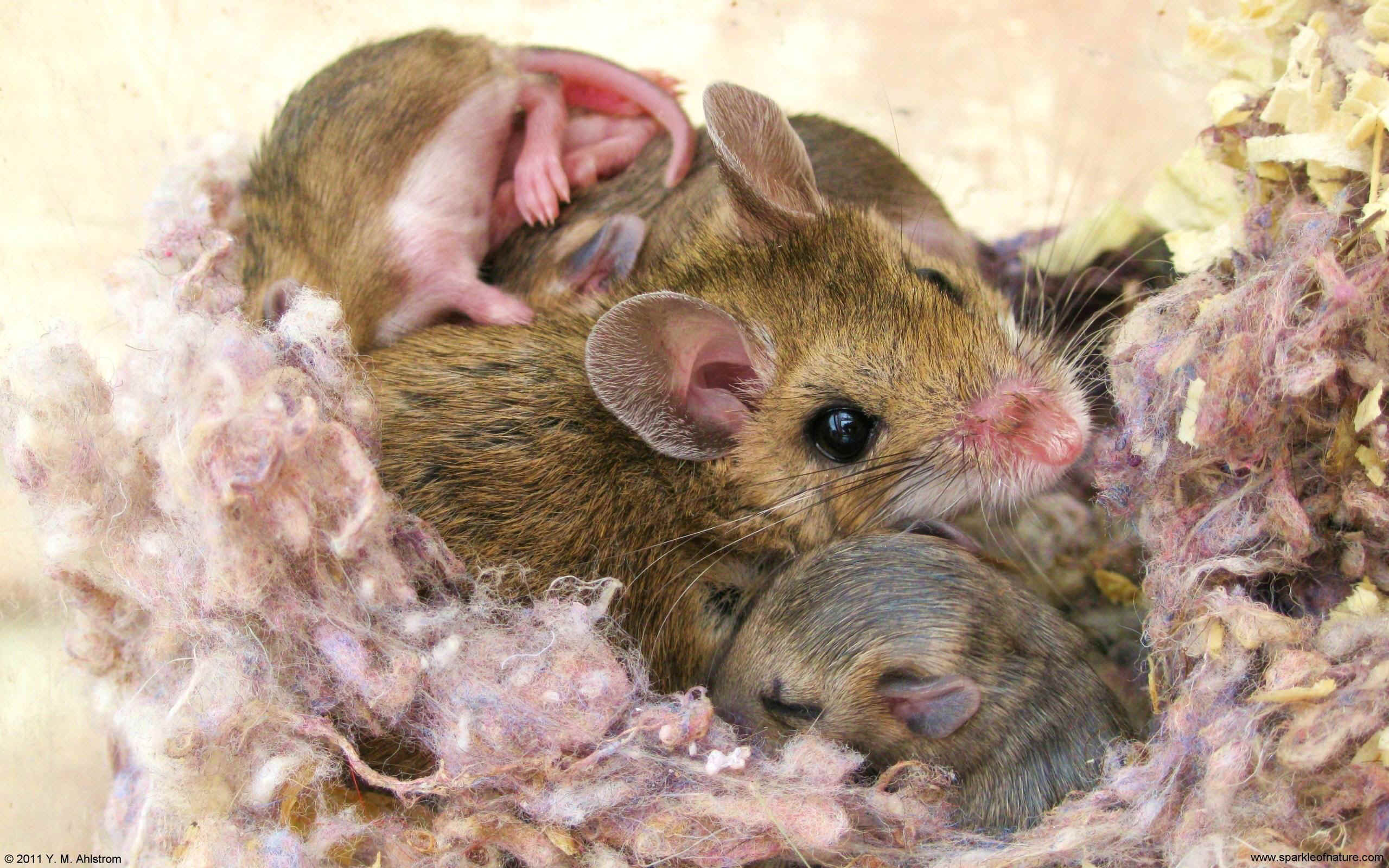 23459 mother mouse w 2560x1600.jpg (609052 bytes)