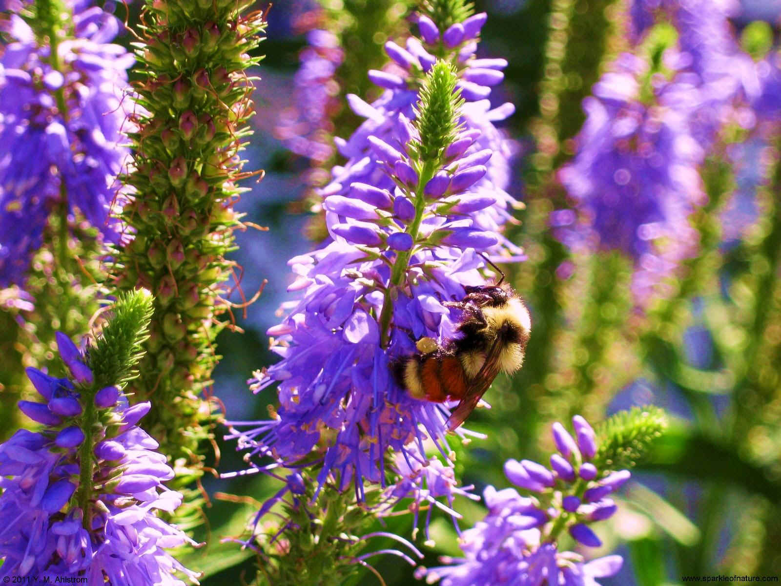 29836 bee on flowers 1600x1200.jpg (311820 bytes)