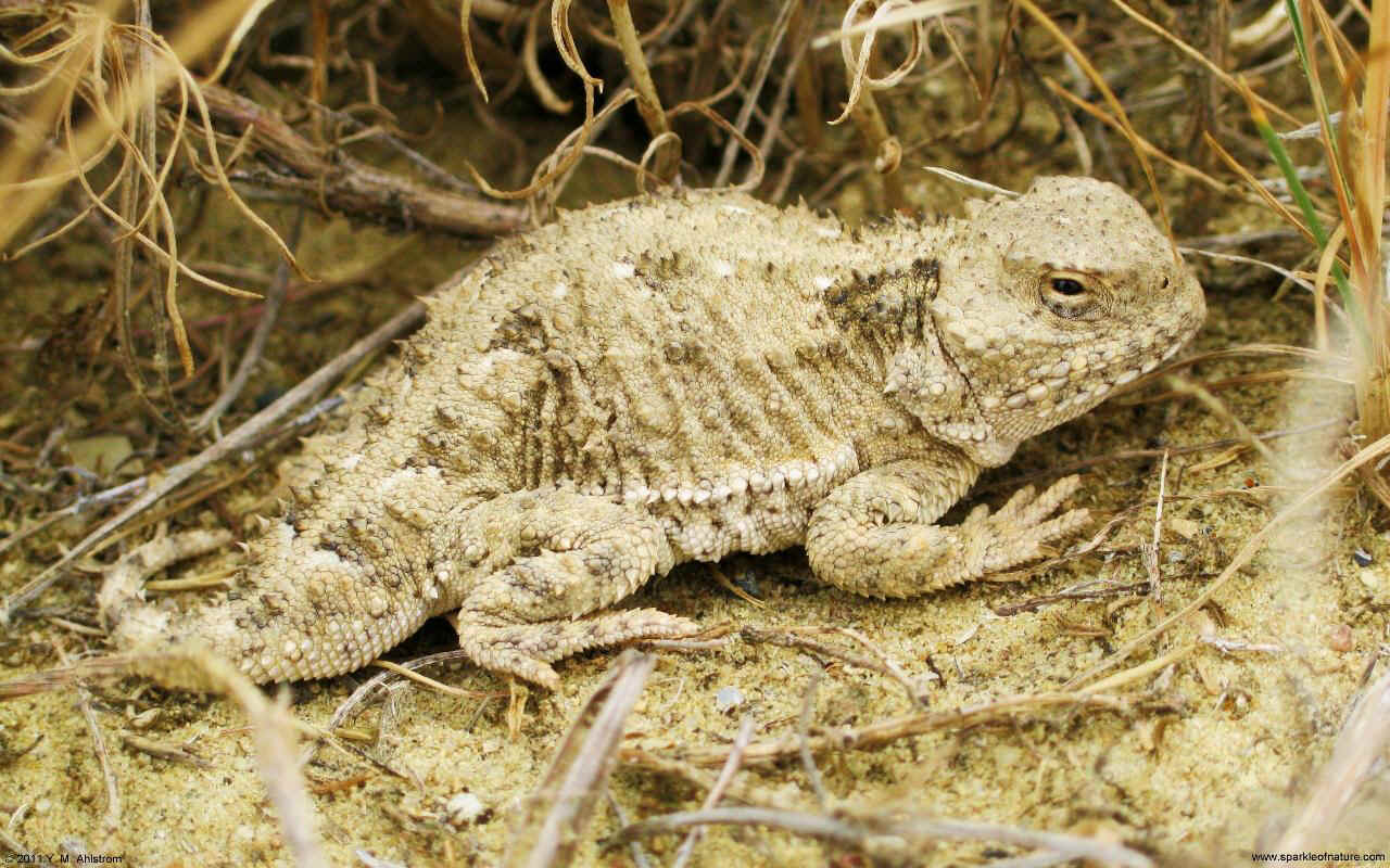 30088 horned toad w 1280x800.jpg (243214 bytes)