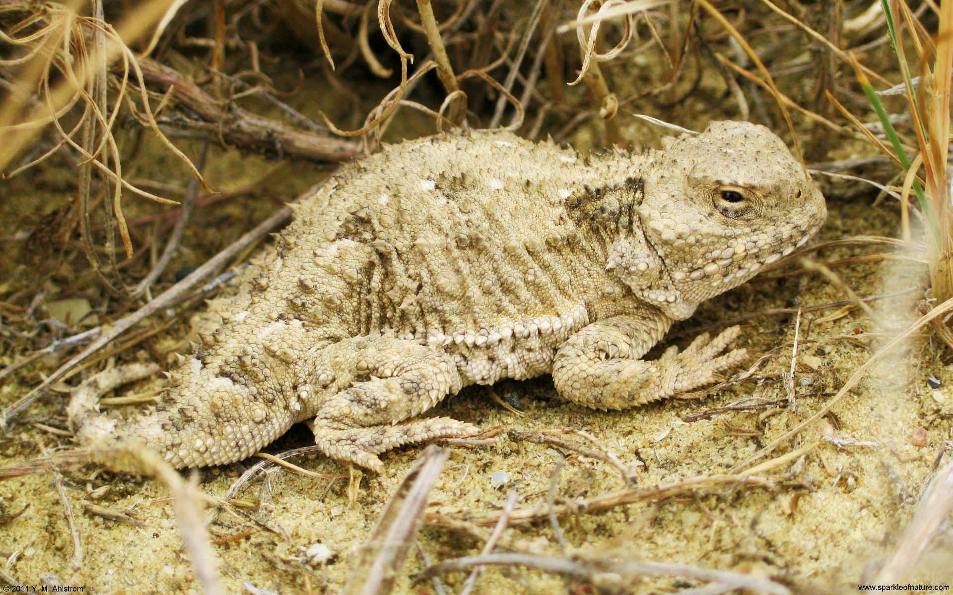 30088 horned toad w 1920x1200.jpg (464745 bytes)