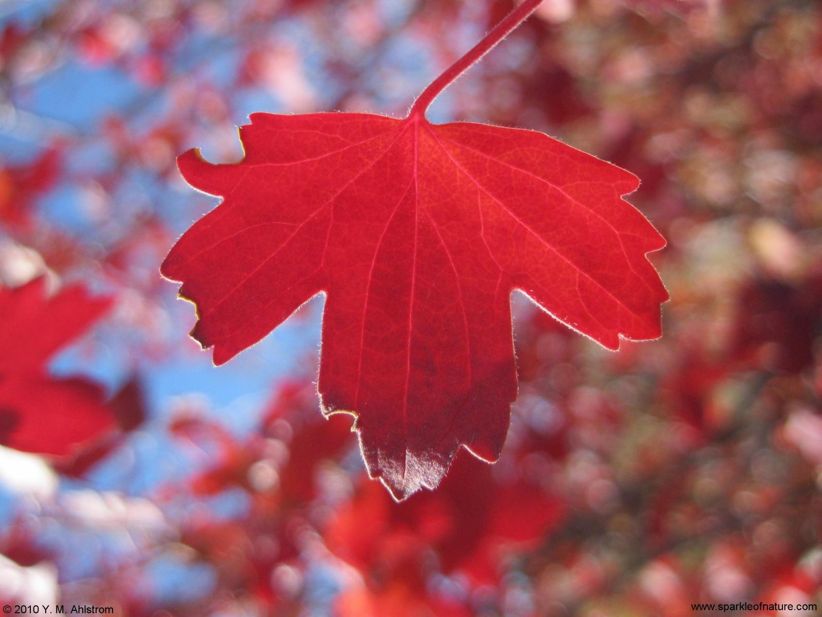 5288 red leaf 1600x1200.jpg (145343 bytes)