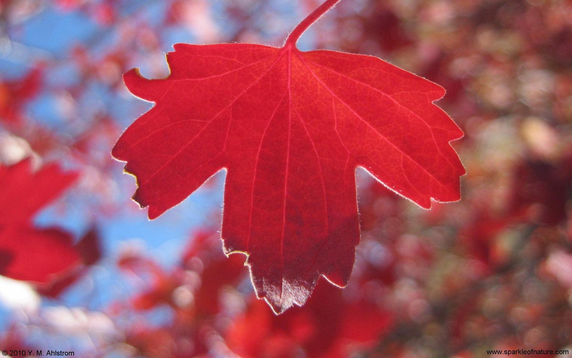 5288 red leaf w 1920x1200.jpg (167681 bytes)